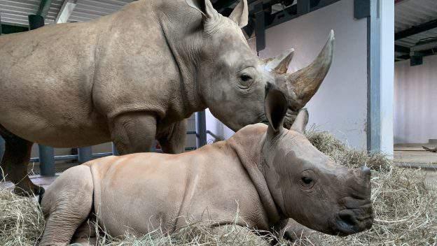 New baby rhino Ranger at Disney's Animal Kingdom