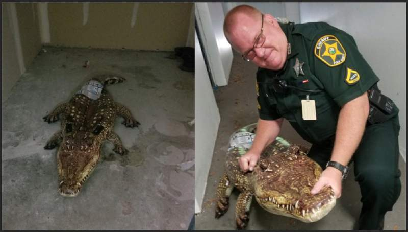 A Polk County deputy responded to a call about a gator in a storage shed that turned out to be a pool floatie.