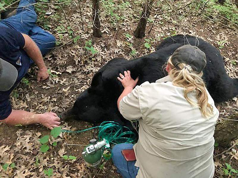 In this July 2020 photo provided by the Missouri Department of Conservation, a bear dubbed Bruno by social media is sedated and transported to safety by Missouri Department of Conservation staff in St. Charles County, Mo. Wildlife officials said Wednesday, June 30, 2021,  the bear that gained a social media following while wandering through the U.S. Midwest has died after being hit by a vehicle in Louisiana. The Louisiana Department of Wildlife and Fisheries said the male bear had to be euthanized because both of his back legs were broken. Bruno had traveled in Wisconsin, Illinois and Iowa before getting cornered between two interstates and drawing a crowd of hundreds in Missouri.  (Missouri Department of Conservation via AP)