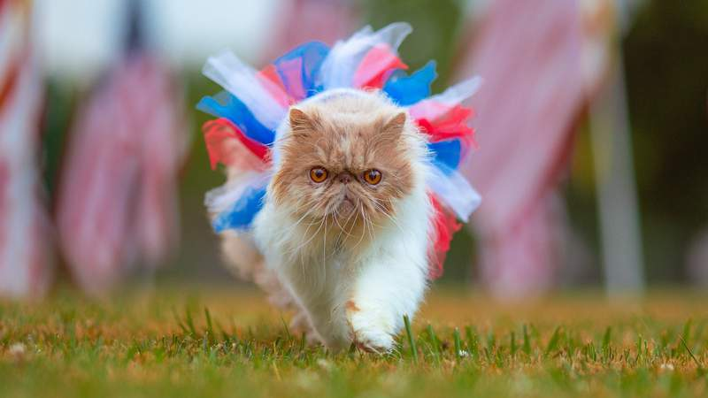Fourth of July cat.