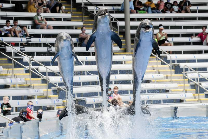 Guests watch as dolphins leap from the water during a show at SeaWorld as it reopened with new safety measures in place=, Thursday, June 11, 2020, in Orlando, Fla. The park had been closed since mid-March to stop the spread of the coronavirus. (AP Photo/John Raoux)
