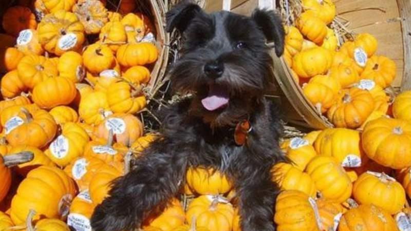 Dog in pumpkin pile