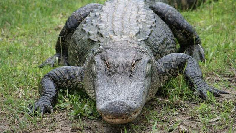 What you need to know about alligator laws in Florida,