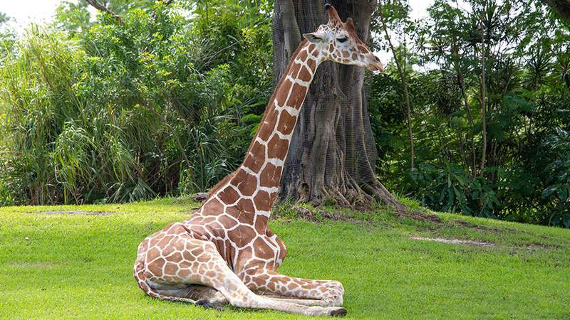 Pongo, a giraffe born at the Denver Zoo, had lived at ZooMiami since 2009 before he was euthanized on Monday in Miami-Dade. (Photo courtesy of Ron Magill/ZooMiami)