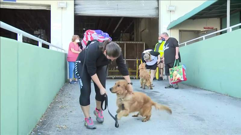 20 Golden retrievers arrive in Miami after organization rescues them from China
