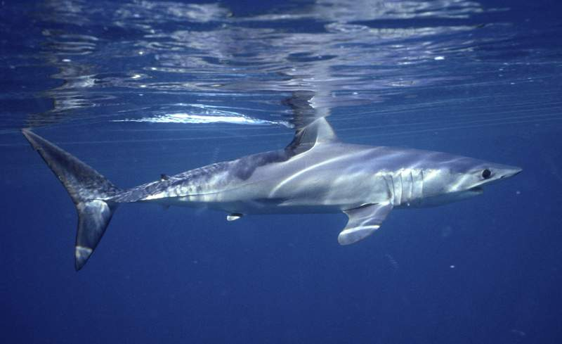 This undated photo provided by Dr. Greg Skomal in January 2021 shows a shortfin mako shark. In a study published on Wednesday, Jan. 27, 2021, researchers found the abundance of oceanic sharks and rays has dropped more than 70% between 1970 and 2018. (Greg Skomal via AP)