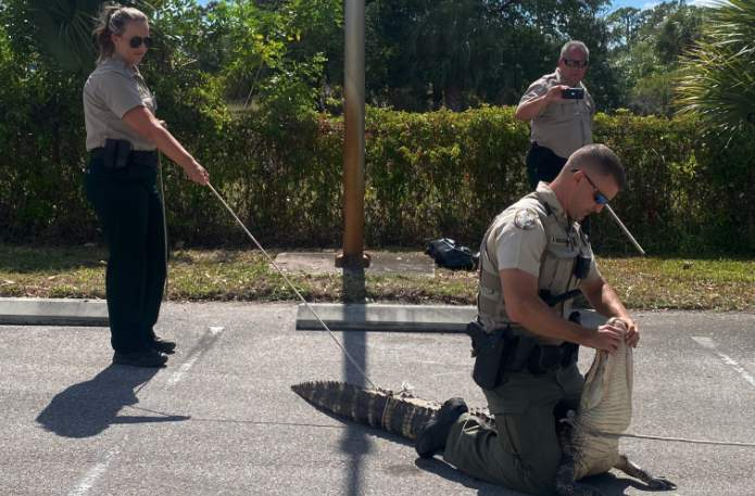 'Hangry' alligator chases customers through Florida Wendy's parking lot. (Lee County Sheriff's Office)