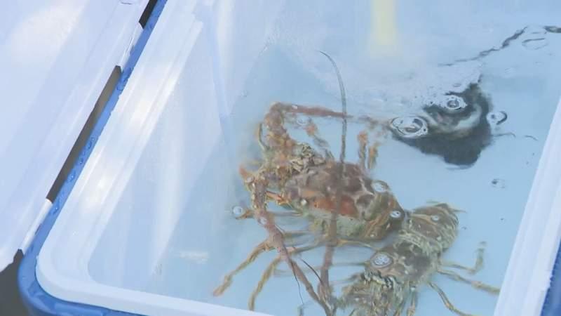 Lobsters in cooler.