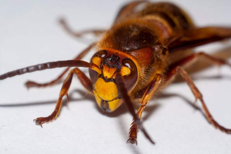 'Murder hornets' have arrived for the first time ever in the U.S., report says