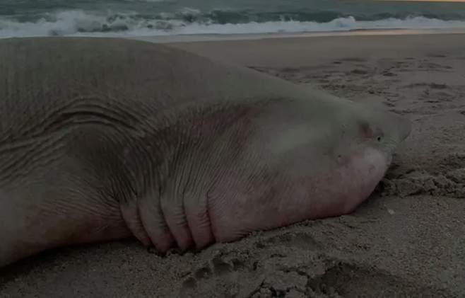 Betty Gardner Gonzalez spots a dead shark that washed up on Melbourne Beach.