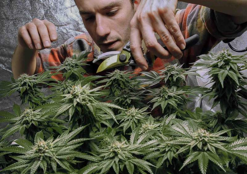 FILE - In this Dec. 13, 2017, file photo, James MacWilliams prunes a marijuana plant that he is growing indoors in Portland, Maine. New York has failed in recent years to pass marijuana legalization, but a state senator said lawmakers have reached an agreement to legalize marijuana sales to adults over the age of 21. (AP Photo/Robert F. Bukaty, File)