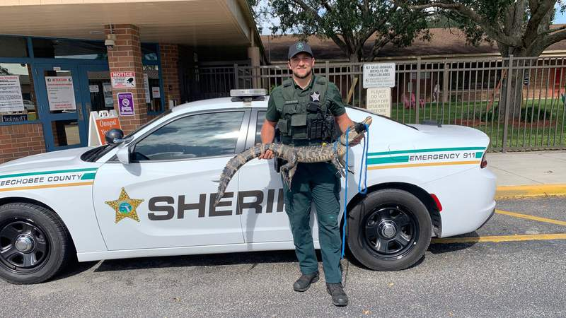 Deputies removed an alligator from an elementary school playground in Okeechobee County